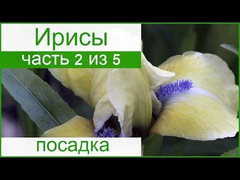 💐 Посадка ирисов весной и осенью, как и когда сажать ирисы