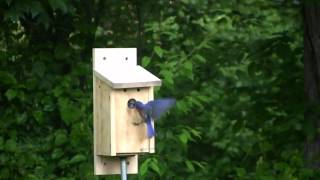 Bluebirds Fledging