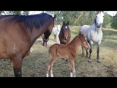 134ll Orphan Foal Finds A New Mum, Australian Brumby challenge Lara Beth