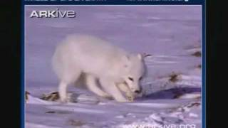 The Endangered Arctic Fox