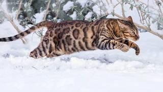 10 Największych kotów domowych!
