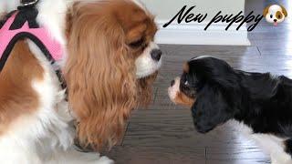 WE GOT A NEW PUPPY VLOG | CAVALIER KING CHARLES SPANIEL | + PUPPY SUPPLIES