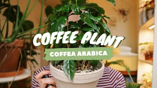 COFFEE PLANT CARE INDOORS | why you have brown leaves! | coffea arabica