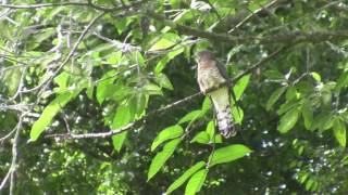 Birds of Sri Lanka - Coucals, Cuckoos, Doves, Parrots, Pigeons