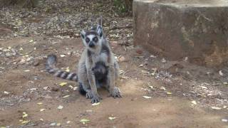 preview picture of video 'Berenty 2010 - Maki Catta - Part.1 - Madagascar - Fort-Dauphin'