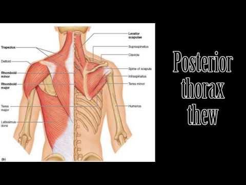 Affermir les muscles dans les reins