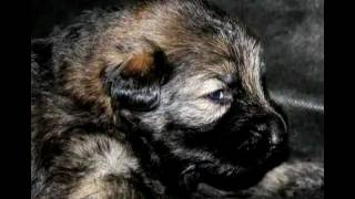 German Shepherd Puppies Pure Black & Sables... Cute