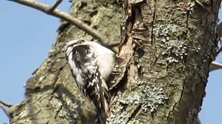 Woodpecker pecking a tree in our backyard (家の庭のキツツキ)