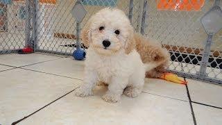 Bichon Poo, Puppies, Dogs, For Sale, In Little Rock, Arkansas, AR, 19Breeders, Fayetteville
