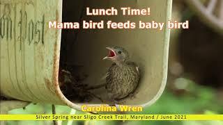 Lunch Time! Mama Bird Feeds Baby Bird