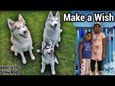 Huskies Make a Wish Come True   Husky Puppy First Meet and Greet