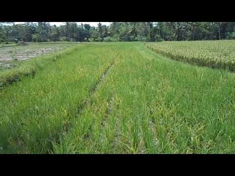 "Video ""Tungro parah"" - Aplikasi STLH SAKIT - PlosoKulon (Dur) - 40 HST (sundep beluk tanaman padi blast)"