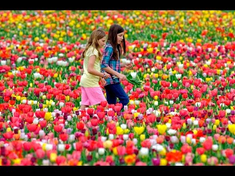 You won't believe this is flower garden   Most beautiful flower garden in the world   Holland Tulips