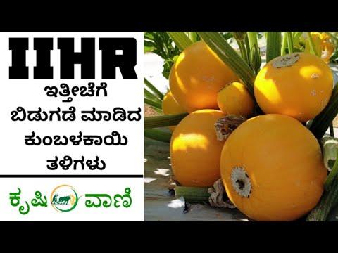 , title : 'IIHR ಅಭಿವೃದ್ಧಿಪಡಿಸಿರುವ ಕುಂಬಳಕಾಯಿ ತಳಿಗಳು | IIHR Developed New Pumpkin Breeds |