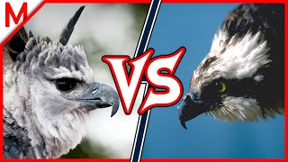 Harpy Eagle vs Osprey | ANIMAL BATTLE (+Sea Otter vs Giant Otter winner)
