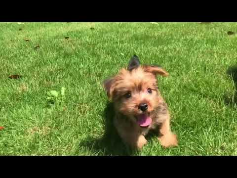 Georgie is a very intelligent, laid back toy size current weight 1.4 oz Yorkshire Terrier