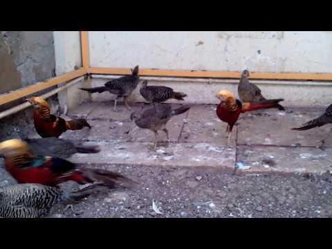Video Jual ayam Golden Pheasant