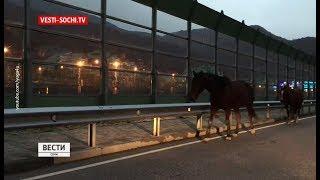 Неконтролируемая опасность: в Сочи участились случаи аварий с домашними животными