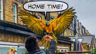 Mikey Flew Away! For 17 Hours || Mikey The Macaw