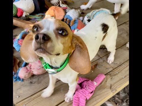 Tucker, an adoptable Beagle in Chesapeake, VA