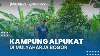 Mengintip Kampung Alpukat di Mulyaharja Bogor, Ada yang Sudah Panen dan Baru Tumbuh Bunga
