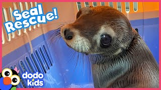 Will This Sea Lion Be Brave Enough To Swim Back To The Wild? | Rescued! | Dodo Kids