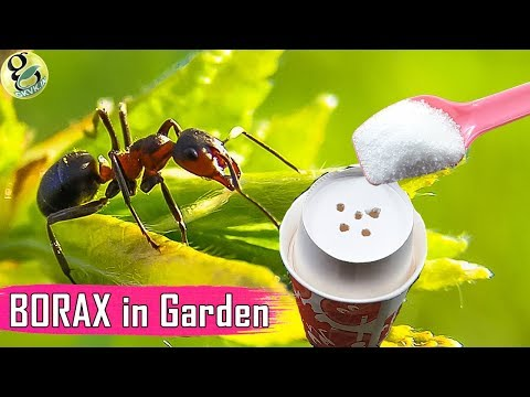 , title : 'BORAX in Gardening: As a Fertilizer and Ant Control - Borax Ant Bait Recipe