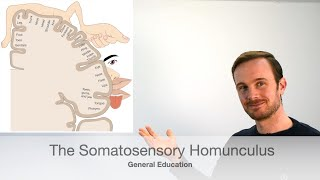 What is the Somatosensory Homunculus or cortex?