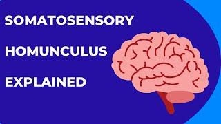What is the Somatosensory Homunculus or cortex?