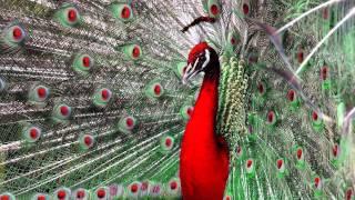 Beautiful Peacock (HD1080p)