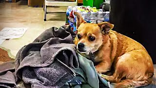 Woman spots homeless Chihuahua hiding in liquor store and jumps into action