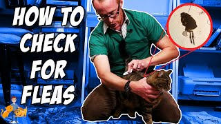 How to Check Your Cat for Fleas (it's super easy!) - Cat Health Vet Advice