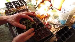 For New Gardeners: How to Seed Start Kale and Collard Greens Indoors: Great Greens!- MFG 2014