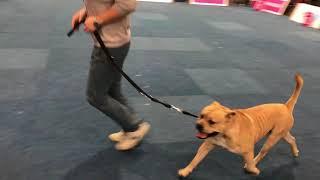 WORLD DOG SHOW 2017 Cadebou Male CACIB