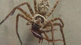 大きさの異なる二匹のアシダカグモにゴキブリを与える