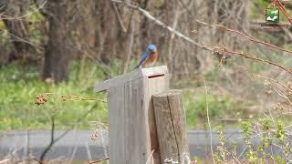 Naturalist Check-In: Eastern Bluebird