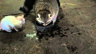 Sly coon loosing his candy floss. Poor little raccoon
