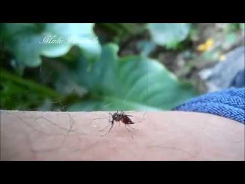 Il lyambliya per trattare o non komarovskiya - Come liberarsi da parassiti e perdere il peso
