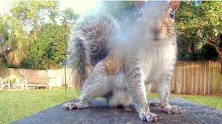 Gray Squirrels Marking Territory