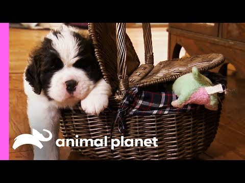 St. Bernard Puppies Pile On The Pounds In Their First Few Weeks Of Life! | Too Cute!