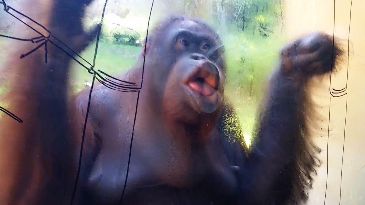 Чистоплотный орангутанг