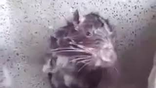 Крыса моется в раковине ⁄ The rat washes in the bathroom