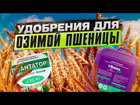 Удобрения для озимой пшеницы