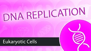 DNA Replication- Eukaryotes