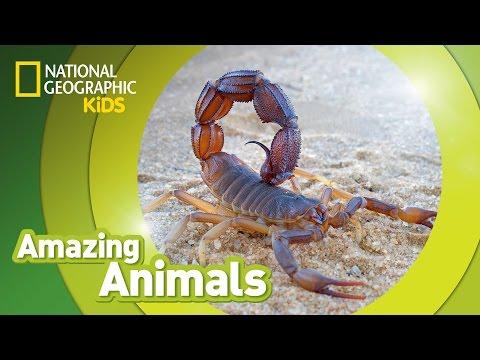 Scorpion | Amazing Animals