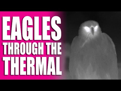 Eagles through the thermal imager