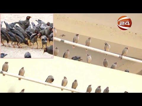শালিক পাখির আনাগোনায় মুখরিত কুষ্টিয়া শহরের অলিগলি
