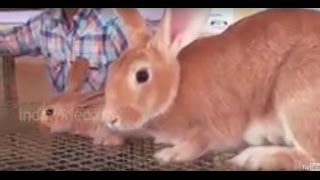 Rabbit breeds and Rabbit rearing, Kerala