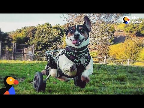 Dog Who Can't Use His Back Legs Loves to Go Hiking – FERRIS   The Dodo