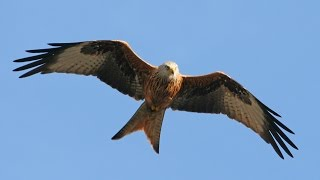 Red Kite filmed in 4K with Sony FDR-AX53